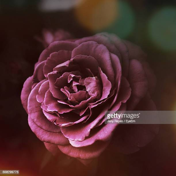 Close-Up Of Purple Rose