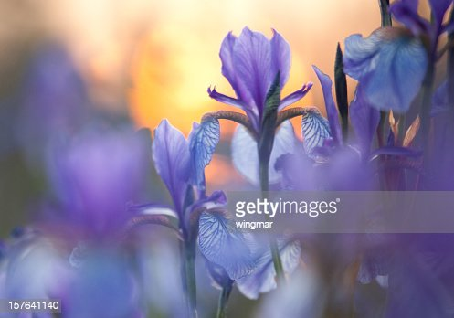 Close-up of purple Siberian iris with low light