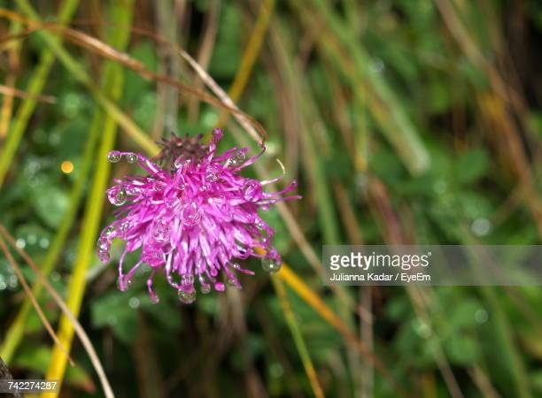 Close-Up Of Purple Thistle Blooming Outdoors