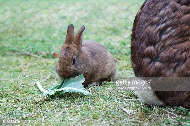 Close-Up Of Rabbit Eating Leaf In Yard