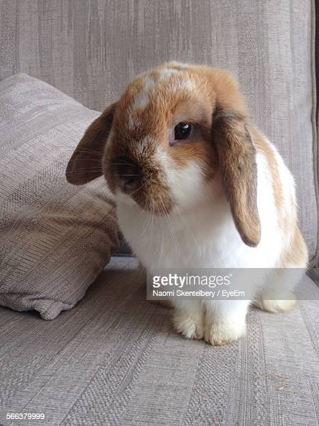 Close-Up Of Rabbit On Sofa At Home