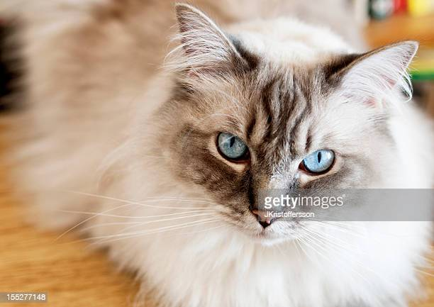 Close-up of Ragdoll Cat