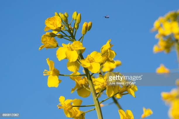 Close-up of rapeseed flowers