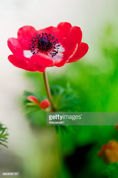 Close-up of red anemone flower in bloom