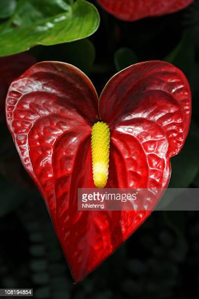 Anthurium foto e immagini stock getty images for Anthurium rosso