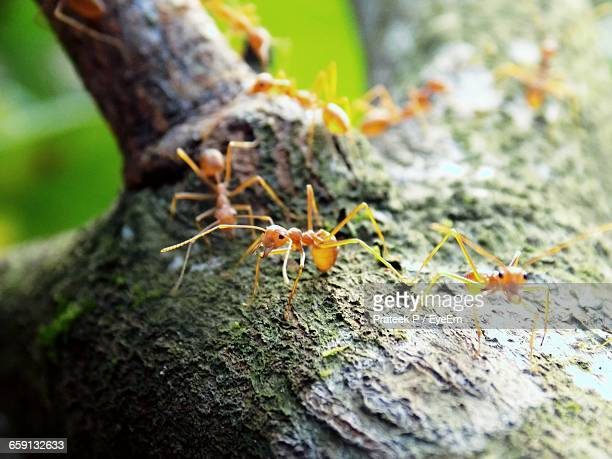 Close-Up Of Red Ants On Tree