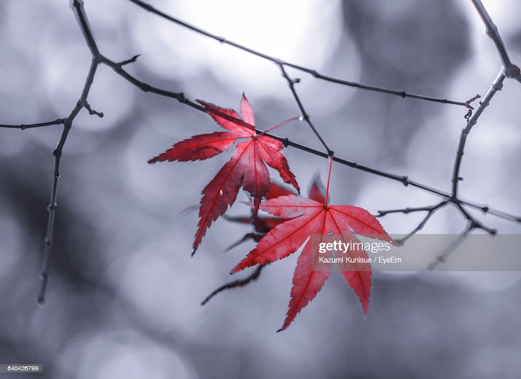 Close-Up Of Red Autumn Leaves On Twigs