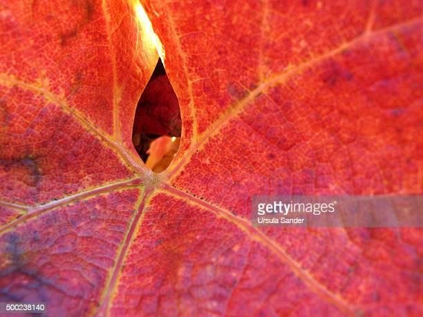 Close-up of red autumn vine leaf