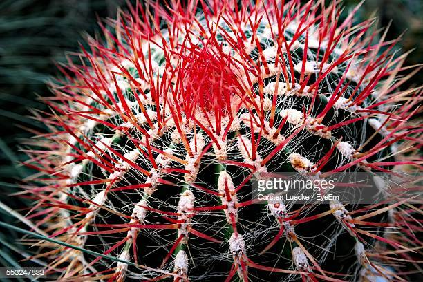 Close-Up Of Red Barrel Cactus Growing Outdoors