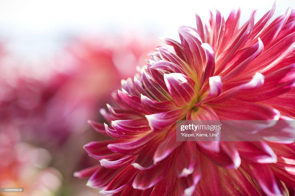 Close-up of red dahlia : Stock Photo