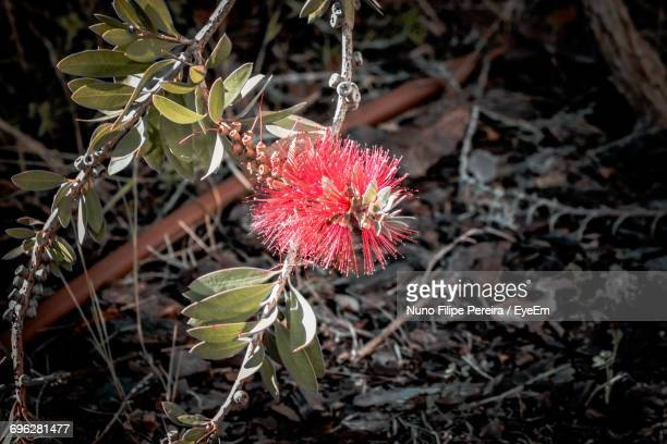 Close-Up Of Red Flower Growing On Tree