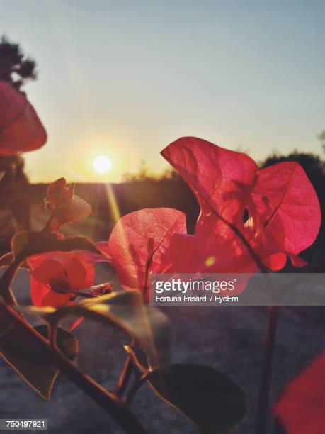 Close-Up Of Red Flowers Blooming Against Sky During Sunset