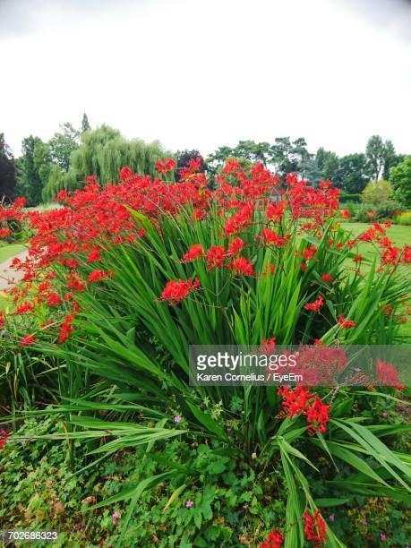 Close-Up Of Red Flowers Blooming In Field