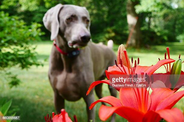 Close-Up Of Red Lily Flowers Against Weimaraner In Park