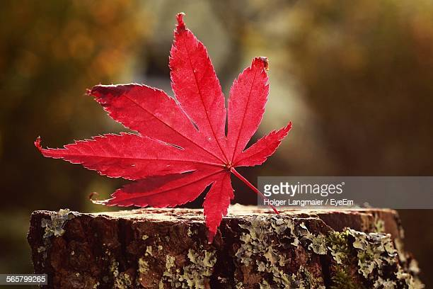 Close-Up Of Red Maple Leaf