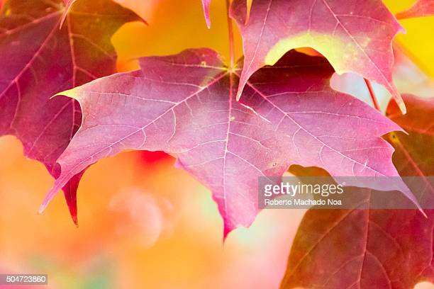 Closeup of Red maple leaves in autumn Maple leaf is national symbol of Canada