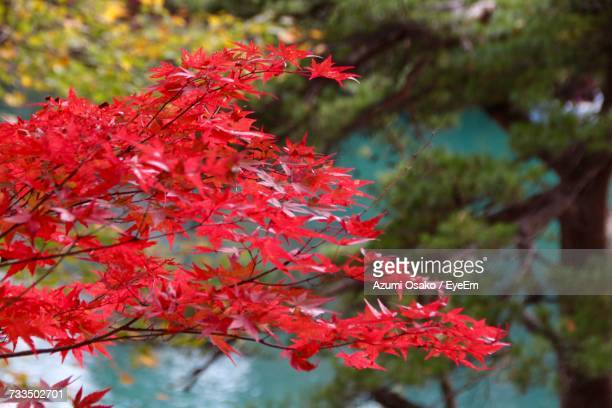 Close-Up Of Red Maple Tree