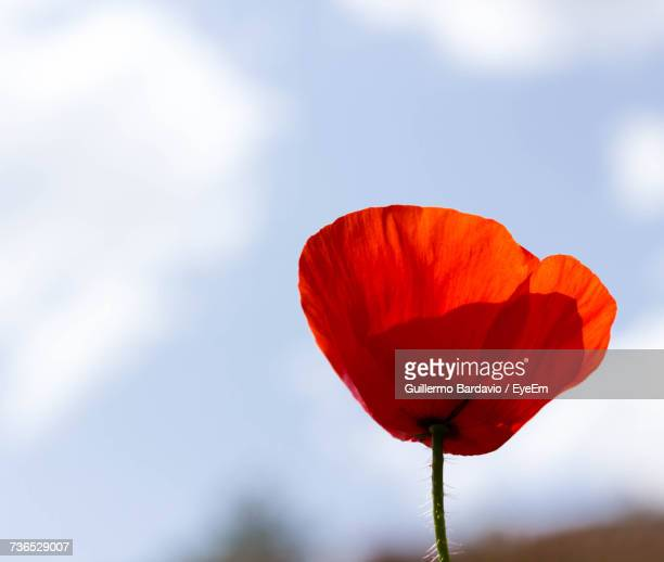Close-Up Of Red Poppy Blooming Against Sky