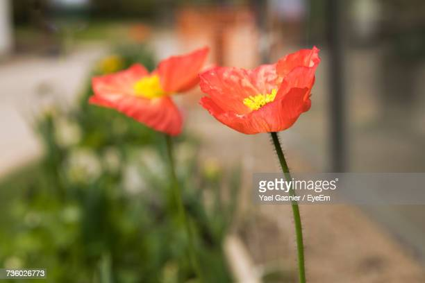 Close-Up Of Red Poppy Blooming Outdoors