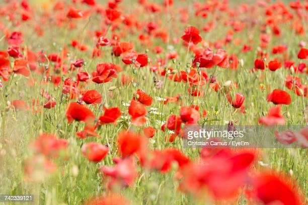 Close-Up Of Red Poppy Flowers Blooming In Field