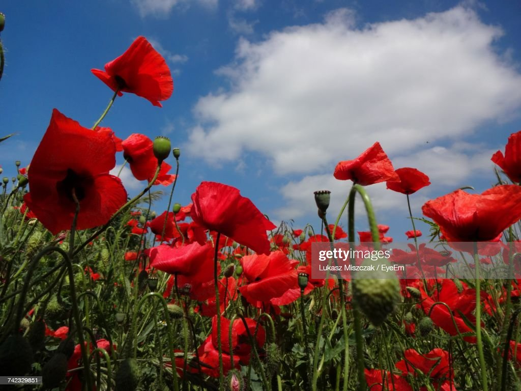 What does a poppy flower symbolize images symbol logo design what does a poppy flower symbolize images flower decoration ideas mightylinksfo