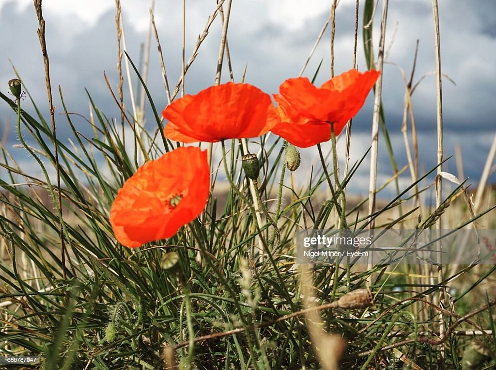 Closeup of red poppy flowers growing in field stock photo getty images close up of red poppy flowers growing in field stock photo mightylinksfo