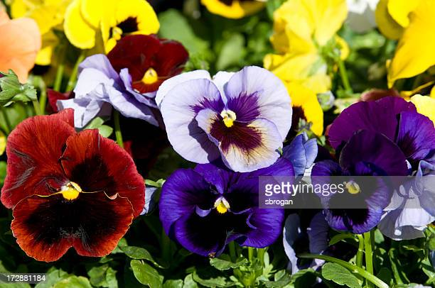 A close-up of red, purple, violet and yellow pansies