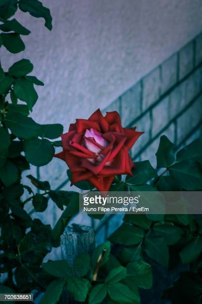 Close-Up Of Red Rose Blooming Against Wall