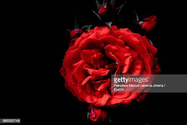 Close-Up Of Red Rose Blooming At Night