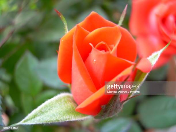 Close-Up Of Red Rose Blooming Outdoors