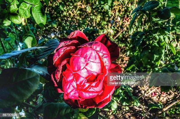 Close-Up Of Red Rose Growing On Field