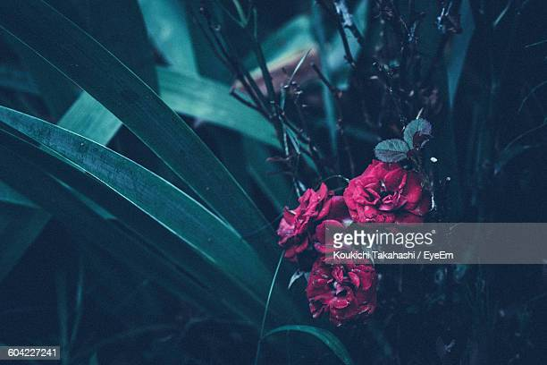 Close-Up Of Red Roses Blooming On Field At Night