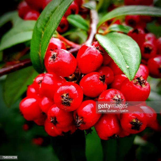 Close-Up Of Red Rowanberries Growing On Plant