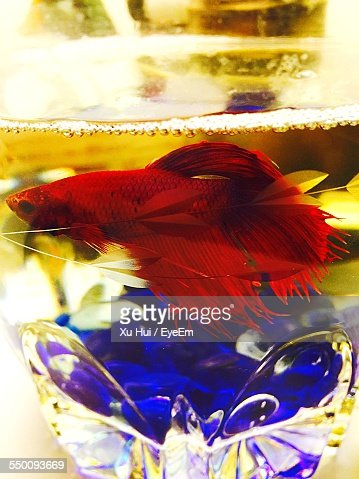 Siamese fighting fish stock photos and pictures getty images for Lifespan of a betta fish in captivity