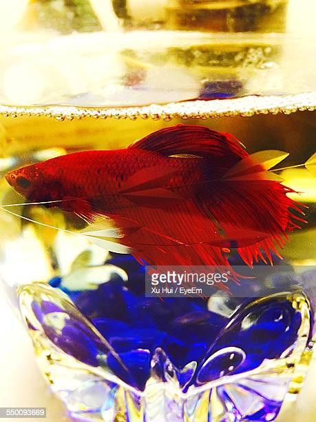 Close-Up Of Red Siamese Fighting Fish In Water