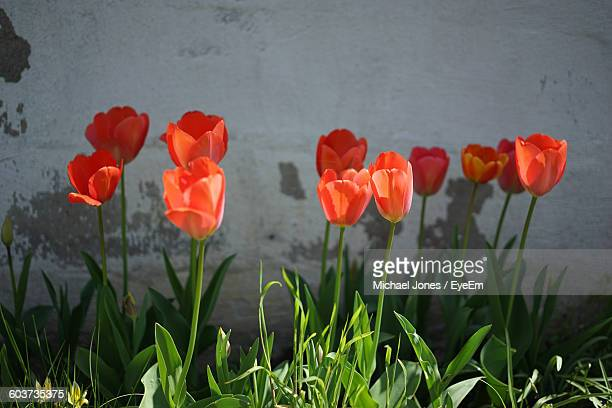 Close-Up Of Red Tulip Flowers Blooming In Back Yard Against Wall