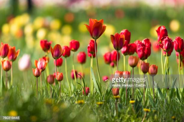 Close-Up Of Red Tulips Blooming On Field