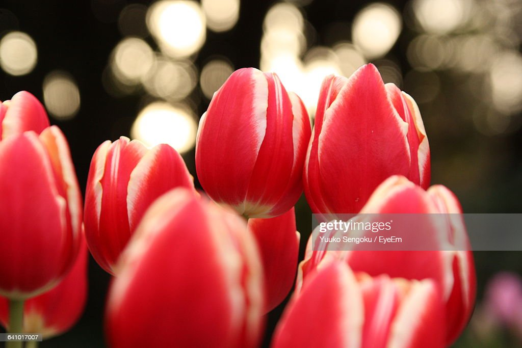 Close-Up Of Red Tulips In Shonan