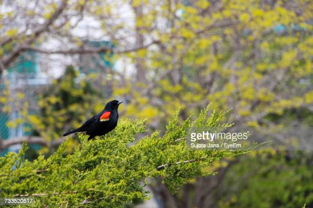 Close-Up Of Red-Winged Blackbird Perching On Tree