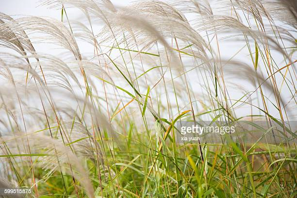 Close-Up Of Reed Grass Against Sky