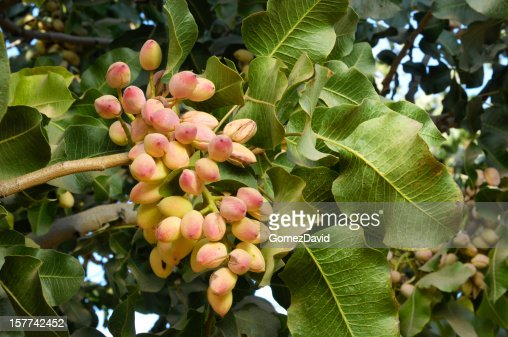 Pistachio Tree Stock Photos and Pictures | Getty Images