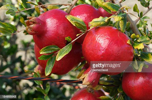 Close-up of Ripe Pomegranates on Tree