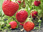 . close-up of ripe strawberry in the vegetable garden