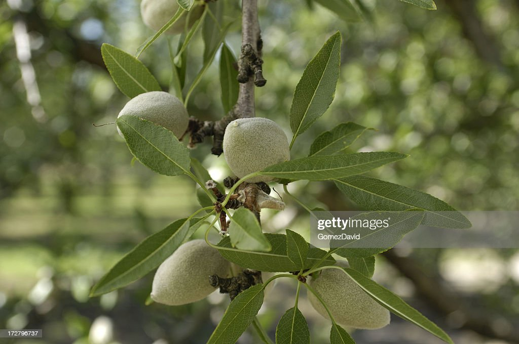 Close-up of Ripening Almonds on Tree