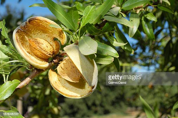 Close-up of a Tree Ripening almendras
