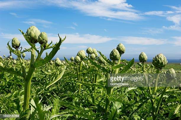 Close-up of Ripening Artichokes Globes Growing on Rural Farm