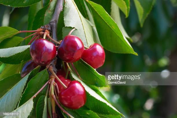 Gros plan de maturité précoce des cerises sur arbre