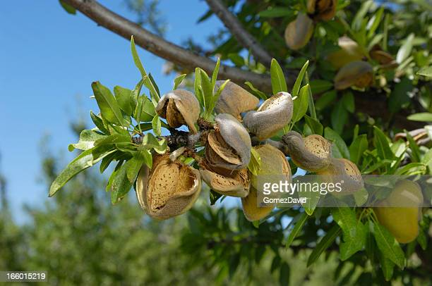 Close-up of Ripening Organic Almonds on Tree