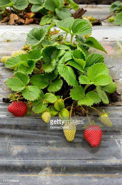 Close-up of Ripening Organic Strawberies on the Vine