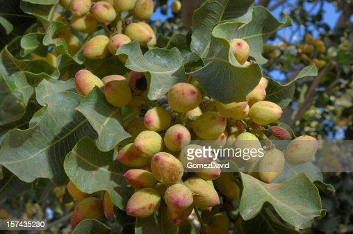 Close-up of Ripening Pistachio on Tree